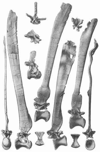 스피노사우루스의 척추뼈와 신경배돌기.