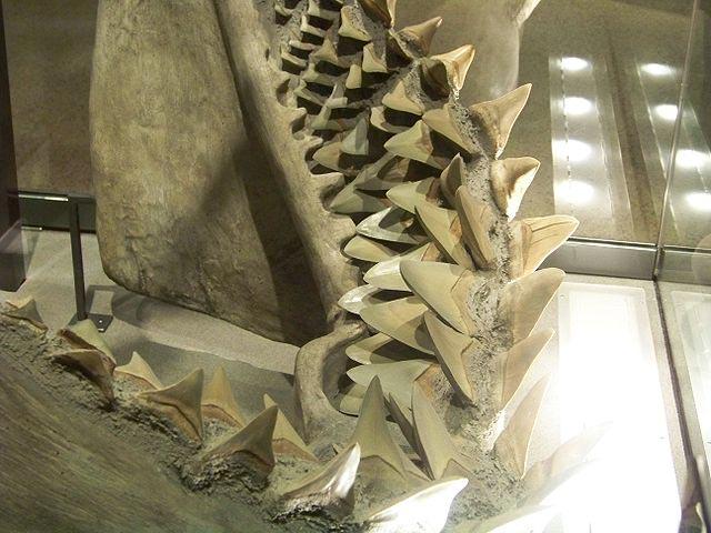 메갈로돈 아래턱의 모형 (위키백과 공용)