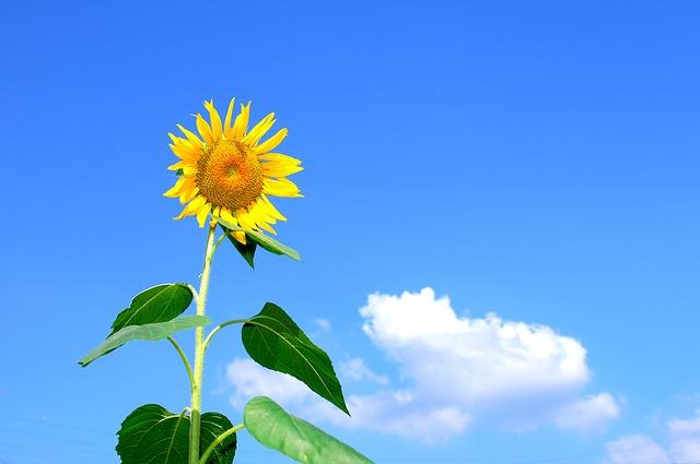 여름 하늘 해바라기