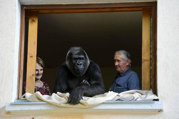 ⓒAFP (재인용 출처: news.com.au) http://www.news.com.au/lifestyle/home/pets/life-with-pet-gorilla-digit-is-bananas-for-pierre-and-eliane-thivillon/news-story/597b86ecc1eb74064676e25f8653978c Pierre Thivillon