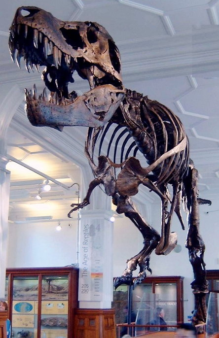 """Stan"" (BHI 3033) the T. rex at Manchester Museum. (Picture by en:User:Billlion, CC BY SA 3.0)"