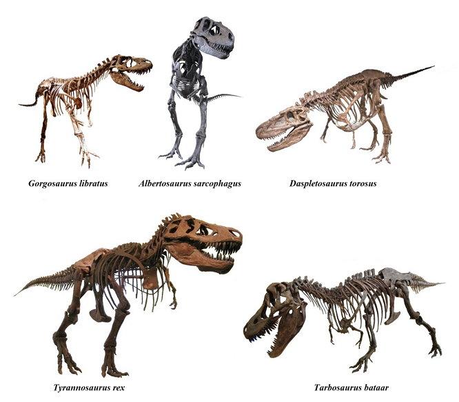 Skeletal reconstructions of various tyrannosaurids. (위키미디어 공용, CC BY SA 3.0) https://en.wikipedia.org/wiki/Tyrannosauridae#/media/File:Tyrannosauridae.jpg