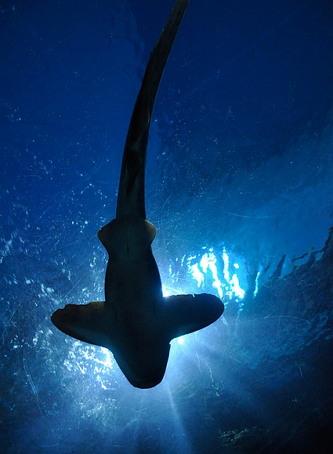피 냄새('자극')는 상어에게 그 자체로 기회는 아니지만 먹잇감이 있다는 '일종의 신호'다.
