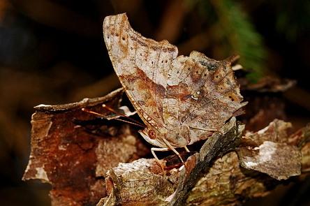 나무로 위장한 나비의 모습