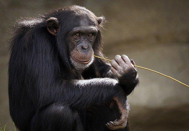 침팬지 사회는 '알파메일'(우두머리 수컷)이 지배하는 극도로 위계적인 전제주의 사회다.