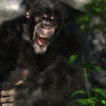 침팬지 원숭이 반란