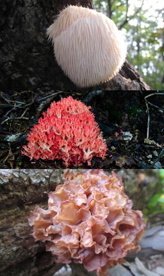 노루궁뎅이버섯, 싸리버섯, 흐르레기버섯 (위부터)